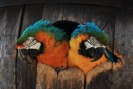 Close up head shot of two macaw parrots in their nest barrel box. photo