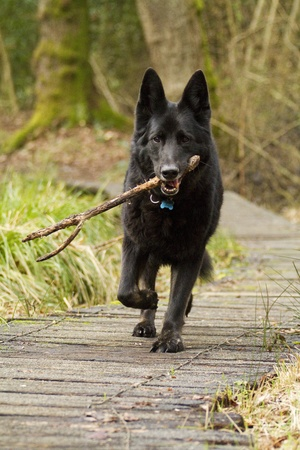 Vertical shot of a black German Shepherd Dog trotting towards the camera with a stick in his mouth. The dog is wearing a collar and id tag.
