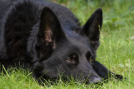 An alert black German Shepherd dog laid on some grass with his eyes pricked up listening intently.