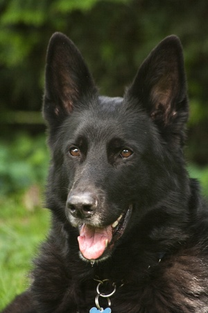 alsation: Vertical shot of a happy looking black German Shepherd Dog against a green hedge background. The dog is wearing a collar with tag.