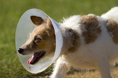 head collar: Small dog wearing a Veterinary Collar to protect an injury. Sometimes called an Elizabethan or Space collar.