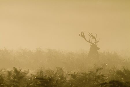 Silhouette of a deer stag in heavy mist.  Stock Photo