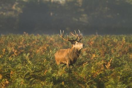 bushy: A male stag deer taken in Autumn in the bracken at Bushy Park in London. Taken in early morning sunlight.