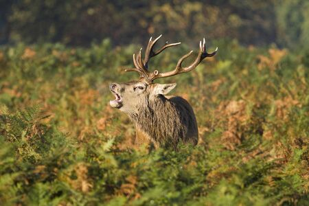 bellowing: A male stag deer in Bushy Park in London. He is bellowing in the bracken during the rut.