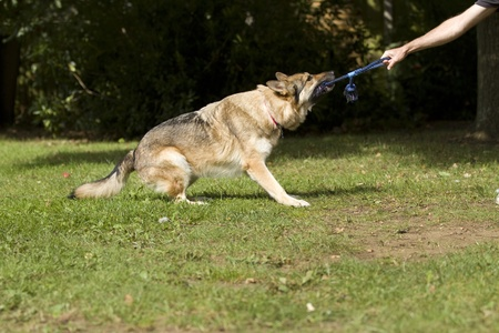 A German Shepherd Dog pulling on a rope being held by a human. Stock Photo