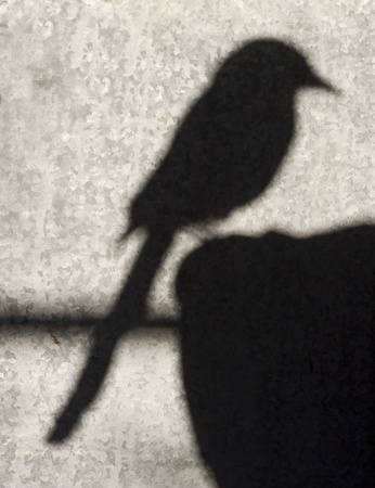 galvanised: The shadow of a magpie bird against a galvanised grey background.