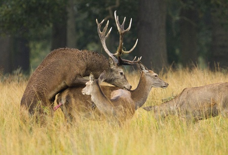 Red deer stag mating a female doe in Richmond Park, London Stock Photo - 12635122