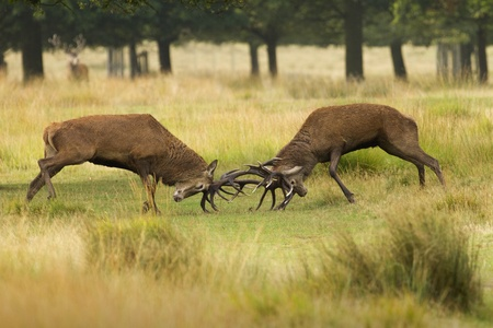 Two red deer stags during the rut, fighting each other in Richmond Park, London. Stock Photo