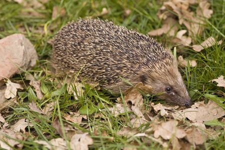 nocturnal: A hedgehog on grass in daylight with autumn leaves.