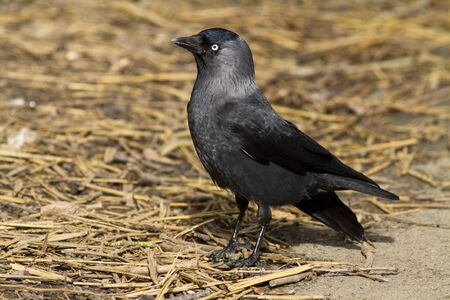 A jackdaw stood on straw in sunlight. Stock Photo - 12635143