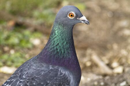 feral: Head shot of a feral pigeon against a natural background.
