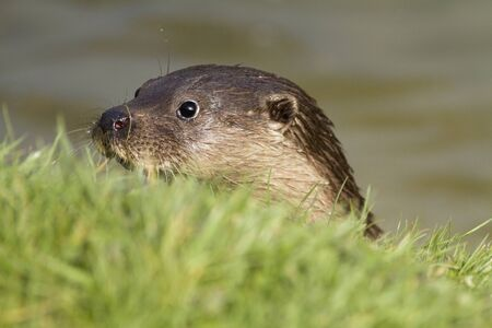 The head of a native British otter peering from the river onto the grass bank. photo
