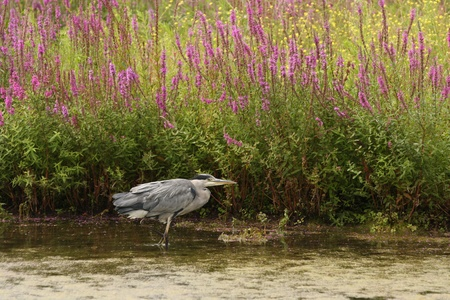 A grey heron stood on one leg in water with flowering purple loosestrife in the background providing a natural setting. photo