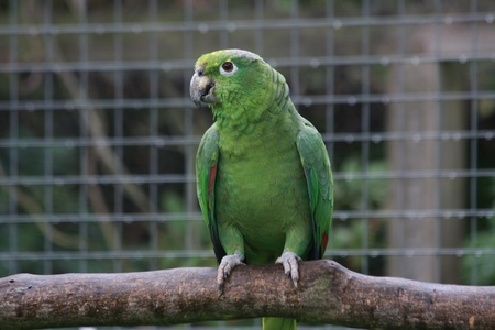 A green Amazon parrot on a branch in an outside aviary.