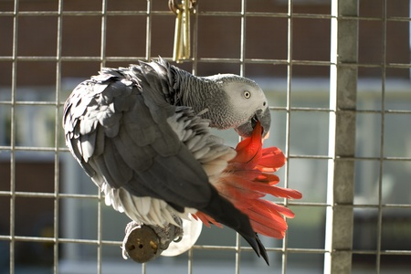 African grey parrot preening its red tail feathers in an aviary photo
