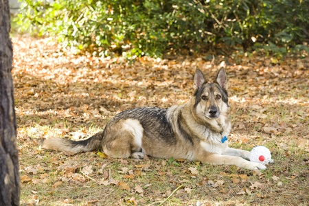 A sable German Shepherd Dog lying down on the ground with a toy.  He is wearing a collar and tag. He is outside lying on autumn leaves. Stock Photo