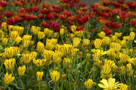 tightly: Red and yellow flowers packed tightly together. Stock Photo