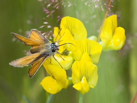 skipper: A small skipper butterfly on a yellow flower with natural green background.
