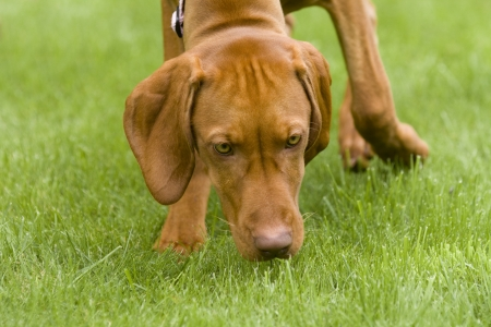 scents: A Hungarian Vizsla dog sniffing the grass heading towards the camera. Stock Photo