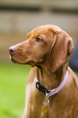 Vertical shot of a Hungarian Vizsla dog.  This is a female puppy wearing a pink collar and id tag.