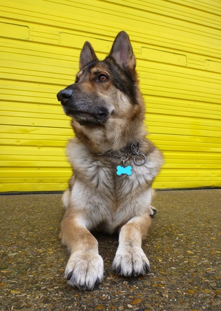 A German Shepherd Dog lying down on concrete against a bright yellow door.  Taken in vertical format with a wide angle lens to make the dog look bigger and more mean. He is wearing a collar with an id tag. Stock Photo - 12635172