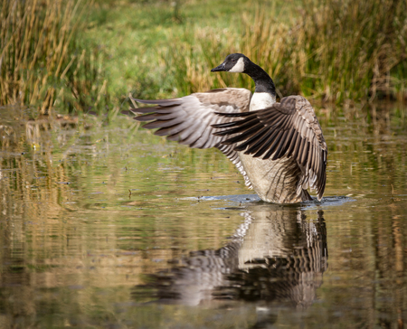 Canada Goose flapping its wings on water you can clearly see the feathers.