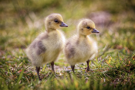 duo: Two day old Canada Geese goslings in their natural environment. Stock Photo