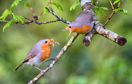 Robin courtship feed, wild European robins feeding each other. Spring bonding, male robin providing food for female.