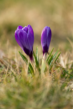 Crocus blooming photo