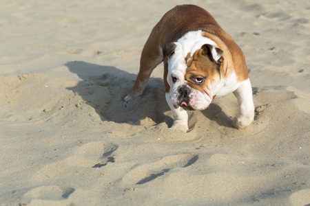 sternly: English Bulldog looking sternly