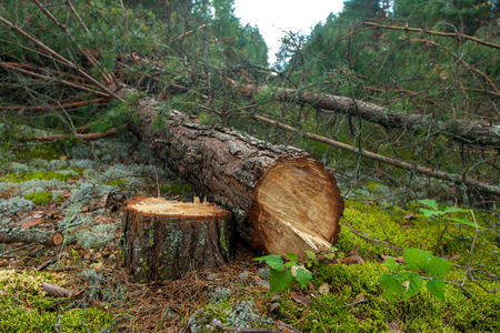 Felled a pine forest and remained stump Stok Fotoğraf