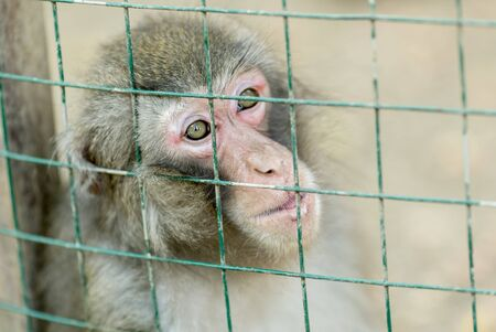 abe: Portrait of a monkey sitting in a cage. Stock Photo