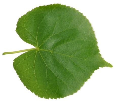Linden leaf on a white background