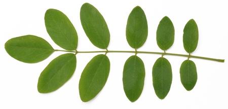 아카시아는 흰색 배경에 나뭇잎 스톡 사진