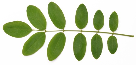 acacia tree: Acacia leaves on a white background