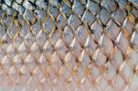 fish skin: Scales of fish close up