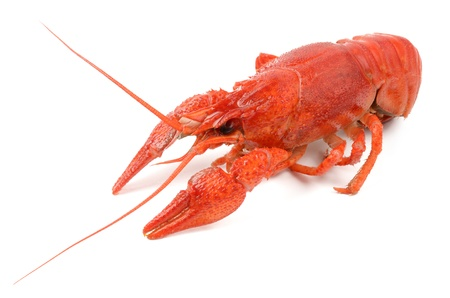 crayfish on a white background photo