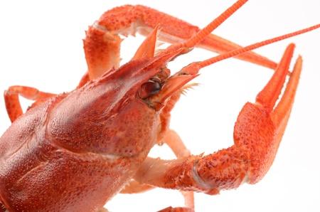 crayfish on a white background Stock Photo - 18545074