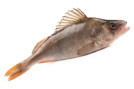 bass fish on white background photo