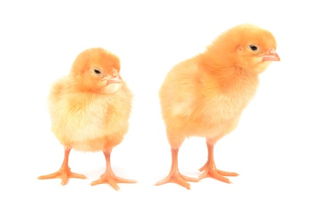 Chickens on a white background photo