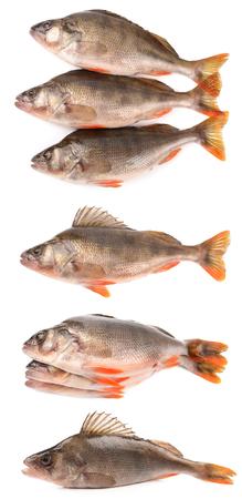 bass vis op een witte achtergrond Stockfoto