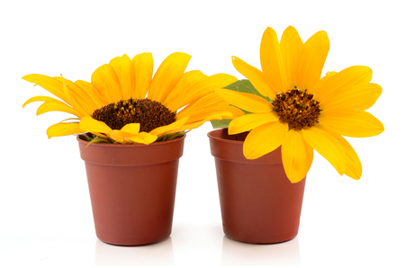 sunflowers in pots photo