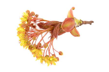 norway maple: maple flowers