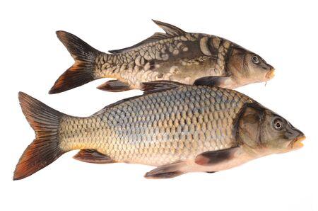 mirror carp: mirror and scaly carp on a white background Stock Photo