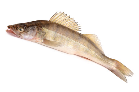 white perch: pike perch on a white background