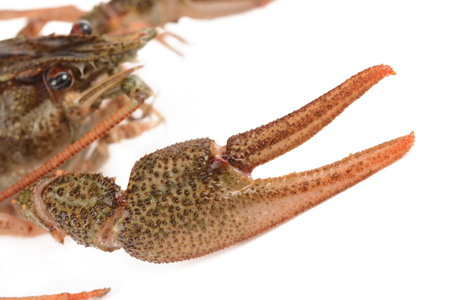 fluvial: crayfish on a white background