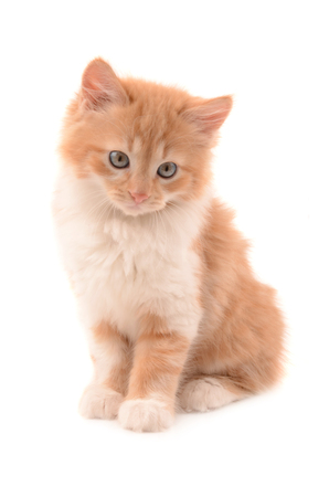 isolated beautiful red cat on a white background Stock Photo