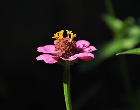 stami: pink flower, yellow stamens