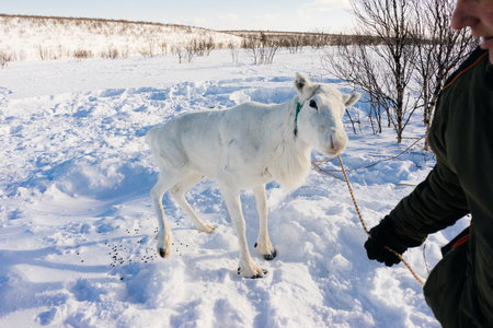 in the far cold north, on the white snow stands a young white deer, it is kept