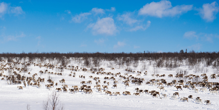 in the extreme north it is very cold, around the snow, there is a herd of deer, looking for food